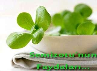 Semizotu'nun Faydaları